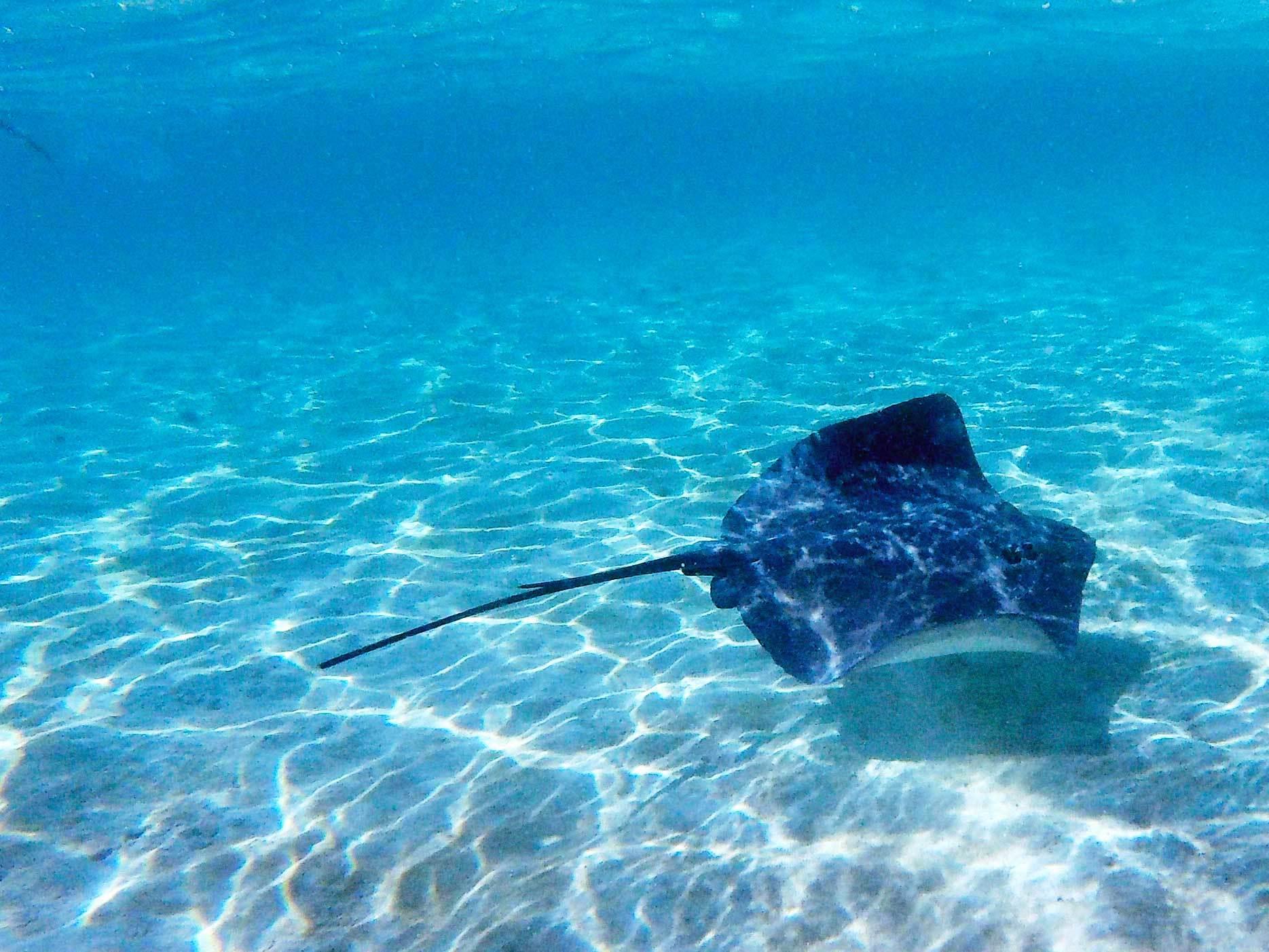 Nadar junto a las rayas es casi como bailar un vals con ellas.