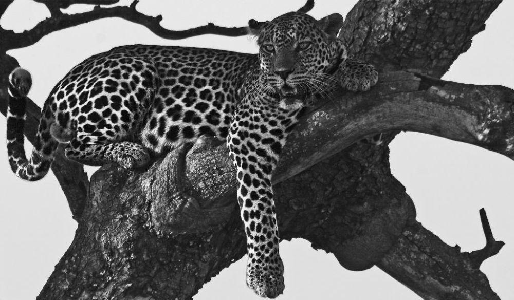 Un leopardo, uno de los llamados big five o cinco grandes, descansa en lo alto de una acacia.