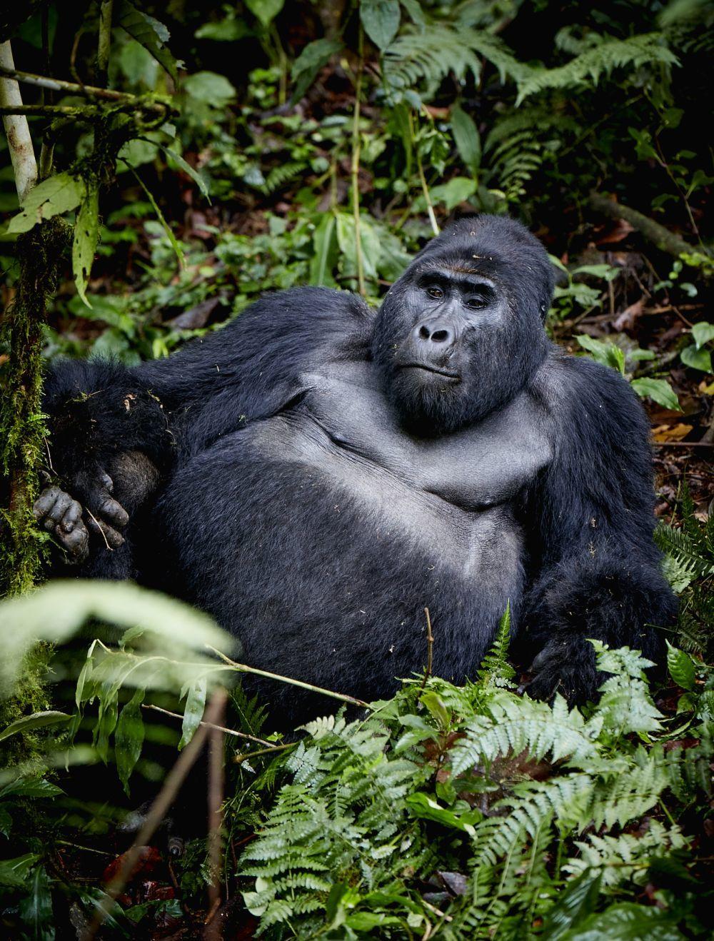 El macho alfa de la manada de gorilas en Bwindi Impenetrable National...