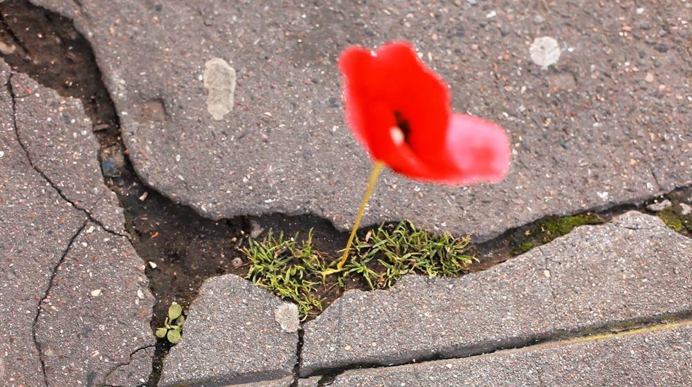 Una amapola en una grieta del asfalto de una gran ciudad.
