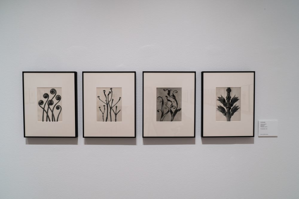 Selección de fotografías de Karl Blossfeldt expuestas en el Museo...