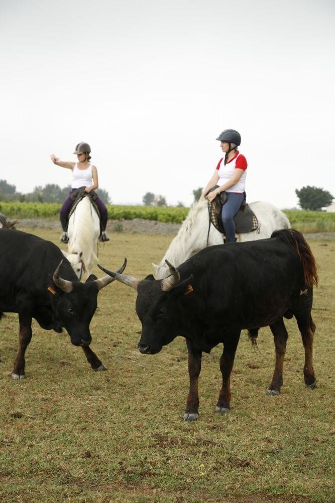 Toros y caballos de la Camarga en la Manade Julian.