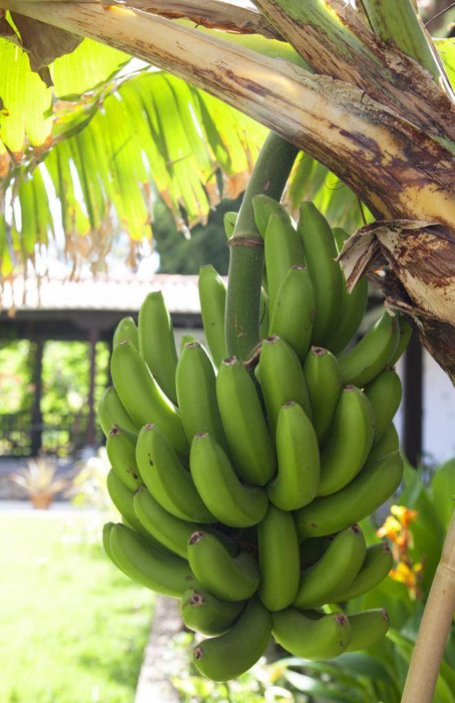 Platanera en La Gomera: todos los días esta fruta rica en potasio.
