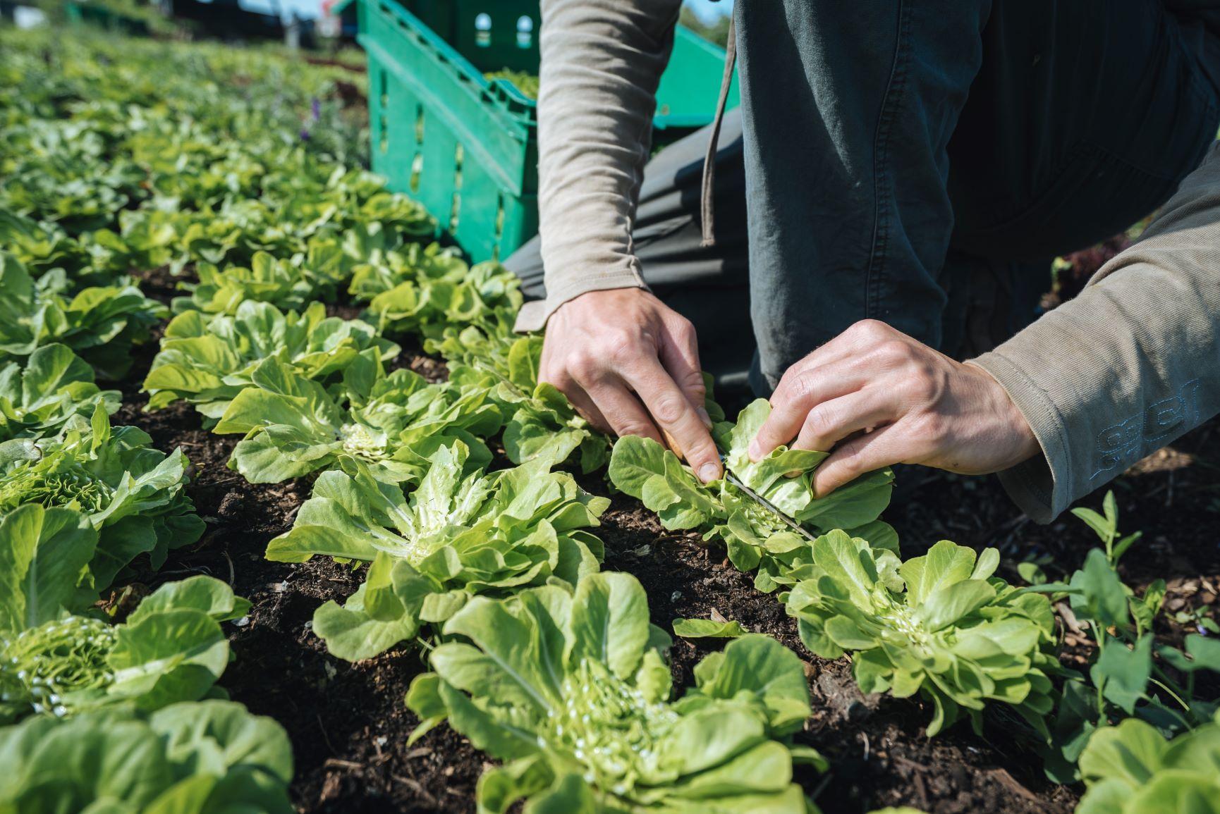 Los diferentes tipos de lechugas y verduras de hoja verde son lo más...