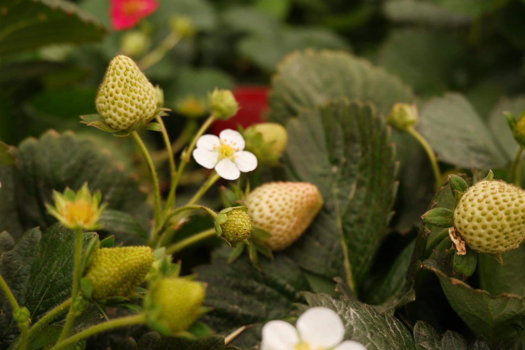 Pon unas fresas en tu huerto urbano.