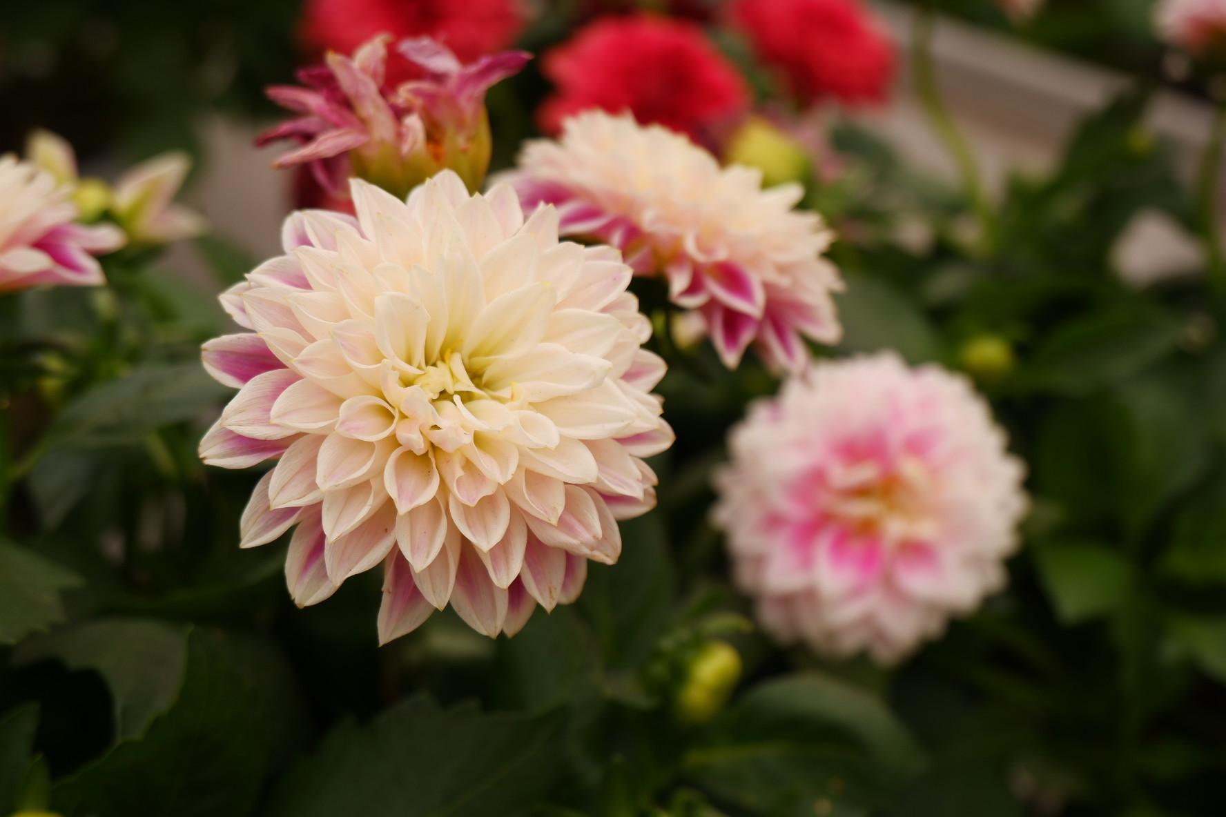 Las dalias son fáciles, vistosas y duran en flor mucho tiempo.
