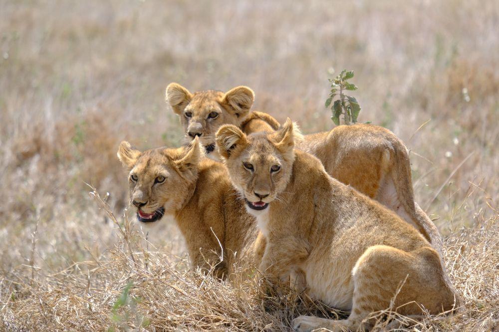 Uno de los mejores destinos ahora mismo es África: es posible hacer un safari en Tanzania y ver a los cinco grandes.