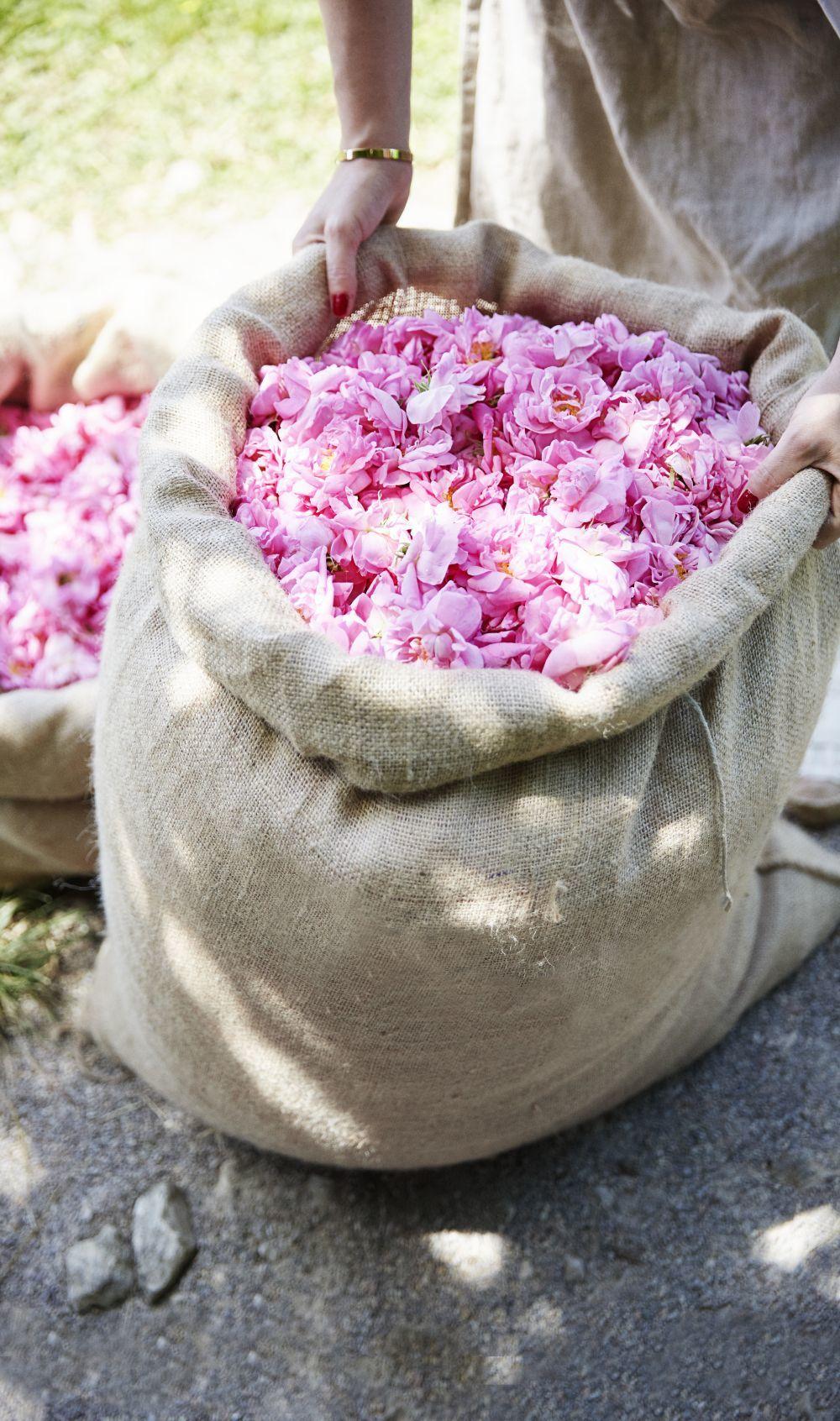 En mayo, tiene lugar la recolección de la rosa damascena de Grasse que es unas de las materias primas de las fragancias de Dior.