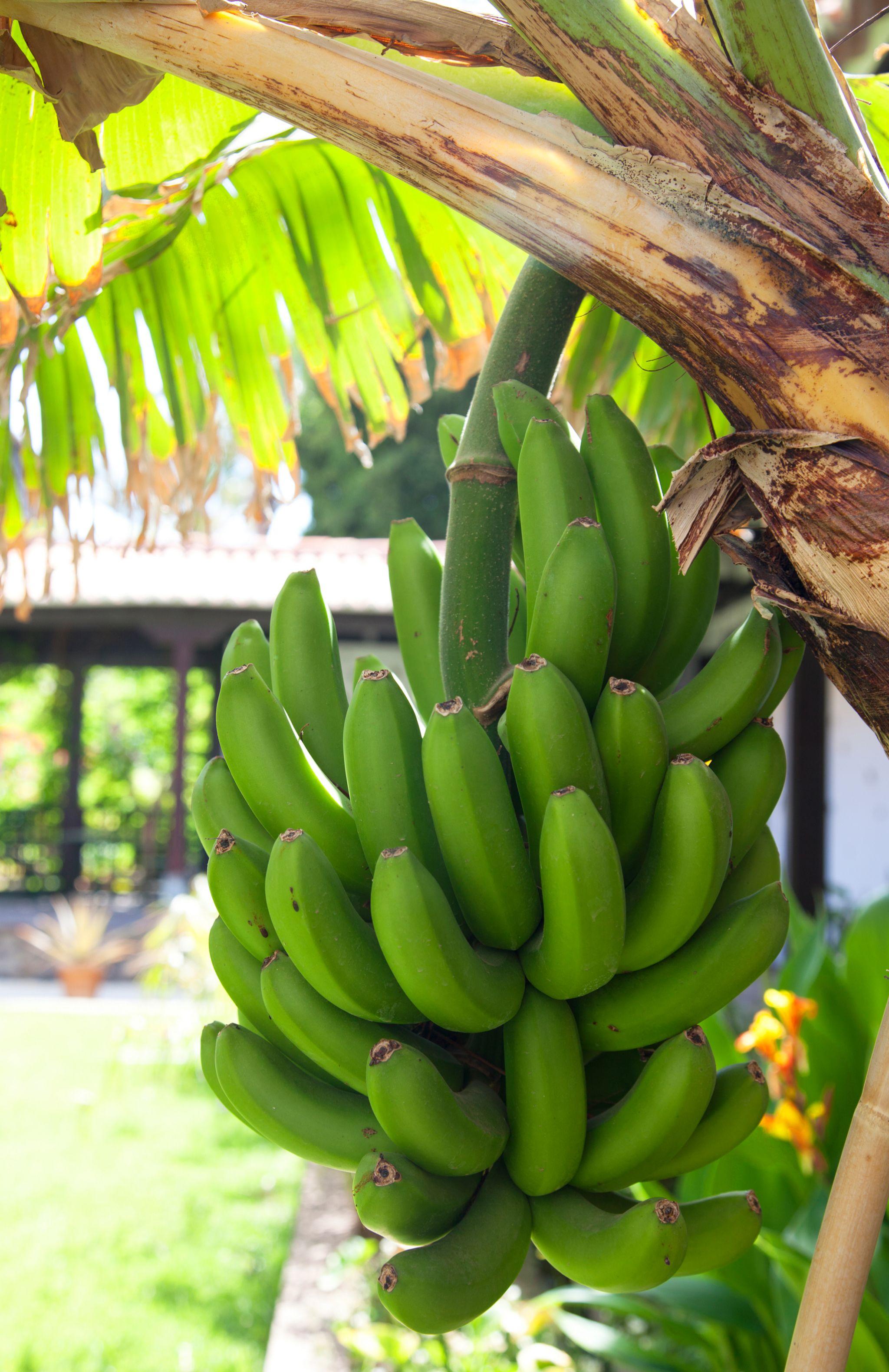 Plátanos de Canarias antes de ser recolectados.