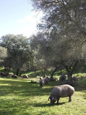 Cerdos ibéricos tomando su ración diaria de bellota en Aracena.